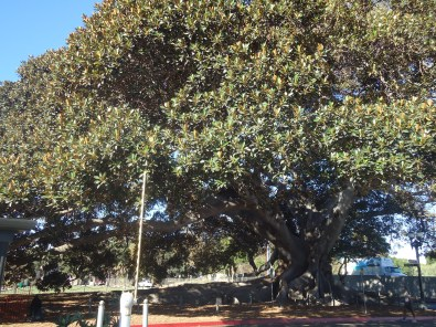 Largest fig tree in North America